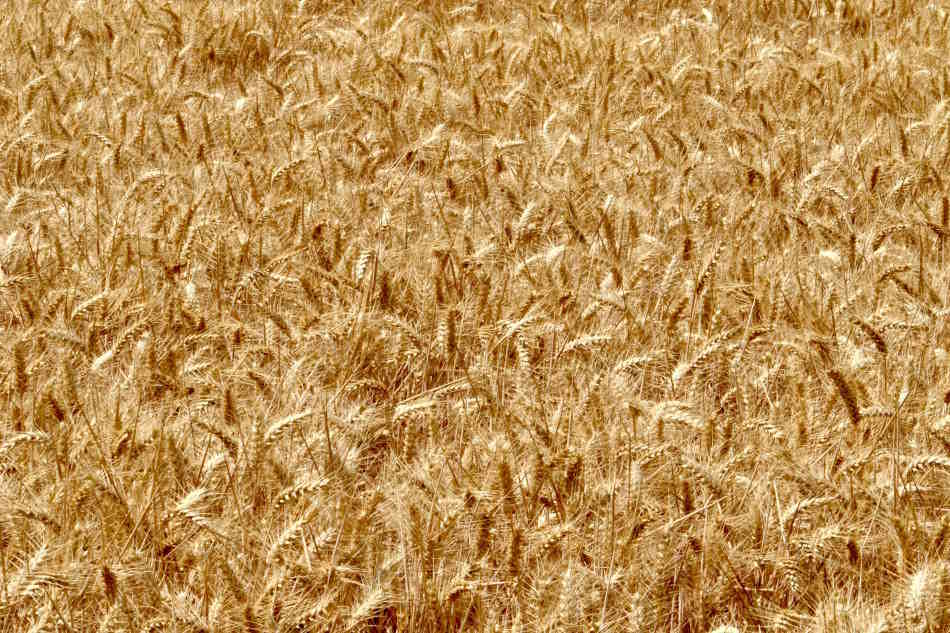 The Difference Between Barley and Malted Barley